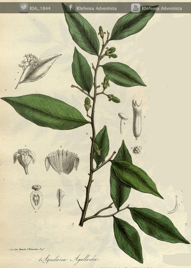 aloe-madera-de-agar-1